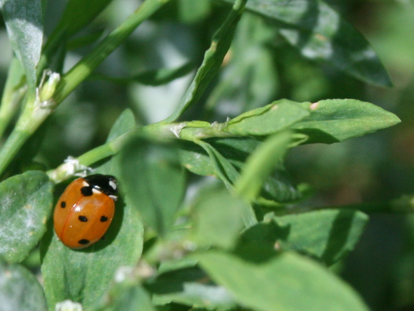 Marienkäfer sitzt auf Pflanze
